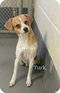 Beagle Mix Dog for adoption in Rockingham, North Carolina - Turk