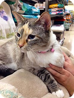 Siamese Cat for adoption in Charlotte, North Carolina - A.. Samantha