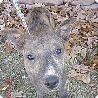 Adopt A Pet :: Admiral - Stilwell, OK
