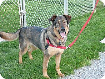German Shepherd Dog/Husky Mix Dog for adoption in Liberty Center, Ohio - Thunder