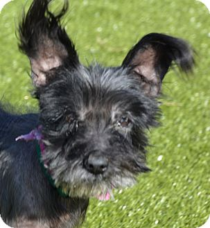 Chinese Crested Mix Dog for adoption in Meridian, Idaho - Ebbie