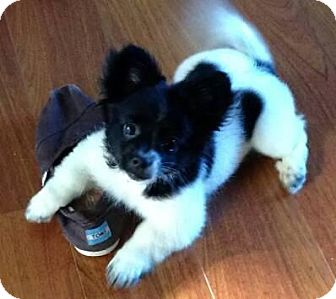 Pomeranian/Chihuahua Mix Puppy for adoption in Baltimore, Maryland - Riley