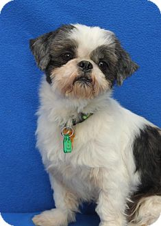 Shih Tzu Dog for adoption in Wichita, Kansas - Kato