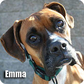 Boxer Dog for adoption in Encino, California - Emma