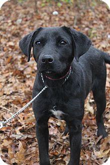 Labrador Retriever Mix Puppy for adoption in Waldorf, Maryland - Fenway