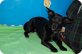 Dachshund Mix Dog for adoption in North Judson, Indiana - Covu