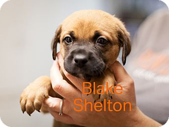 Labrador Retriever/Hound (Unknown Type) Mix Puppy for adoption in Dallas, Texas - Blake Shelton