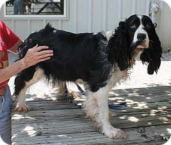 Springer Spaniel Dog for adoption in Marble, North Carolina - Cleopatra