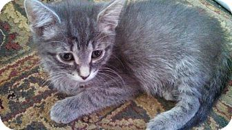 Domestic Shorthair Kitten for adoption in Sterling Heights, Michigan - Dory