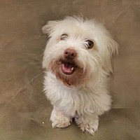 Adopt A Pet :: Bella (Westie Mix) - Morganville, NJ