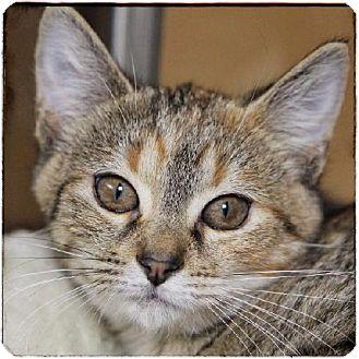 Domestic Shorthair Kitten for adoption in Salem, Massachusetts - Tootie
