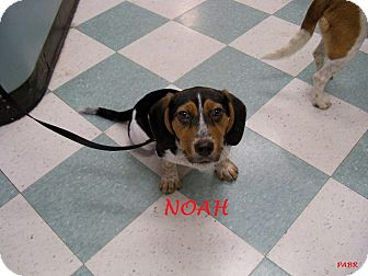 Beagle Puppy for adoption in Ventnor City, New Jersey - NOAH