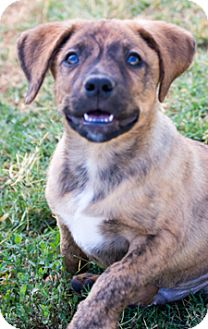 Catahoula Leopard Dog/Labrador Retriever Mix Puppy for adoption in Patterson, California - Moses