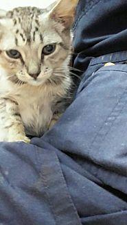 Domestic Shorthair Kitten for adoption in Miami, Florida - Jake
