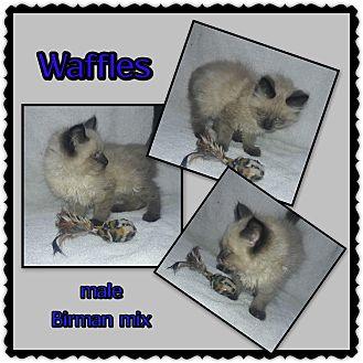 Birman Kitten for adoption in Richmond, California - Waffles