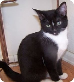 Domestic Shorthair Cat for adoption in Colorado Springs, Colorado - K-Blackberry-Minnie