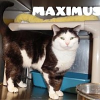 Adopt A Pet :: Maximus - Anderson, IN