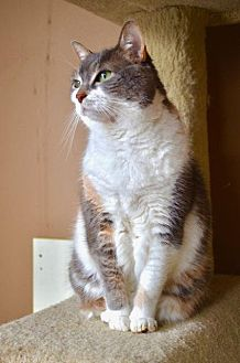 Calico Cat for adoption in Santa Monica, California - Maddie Mae