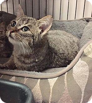 American Shorthair Kitten for adoption in Okmulgee, Oklahoma - Erin