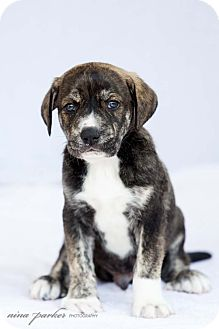 Retriever (Unknown Type) Mix Puppy for adoption in Marietta, Georgia - Quentin