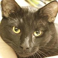 Domestic Shorthair Cat for adoption in Potsdam, New York - Deisel