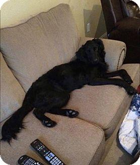 Labrador Retriever Mix Dog for adoption in Manhattan, Kansas - Jersey