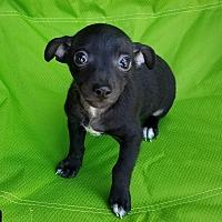 Adopt A Pet :: Raven - Encino, CA
