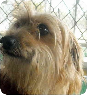 Yorkie, Yorkshire Terrier/Dachshund Mix Dog for adoption in Varnville, South Carolina - Sissy Ann