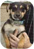 Miniature Pinscher/Terrier (Unknown Type, Small) Mix Dog for adoption in Portland, Maine - Dandy Dale