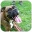 Photo 1 - Boxer Mix Dog for adoption in Albany, Georgia - Mugsy