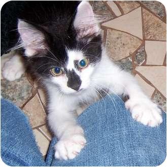 Domestic Mediumhair Kitten for adoption in Oklahoma City, Oklahoma - Andre