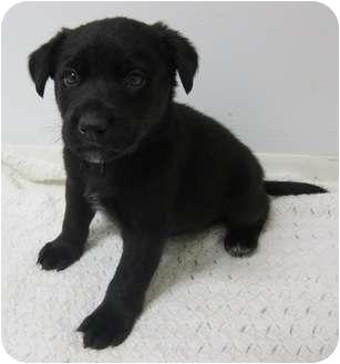 Border Collie/Labrador Retriever Mix Puppy for adoption in Plainfield, Illinois - Gabon