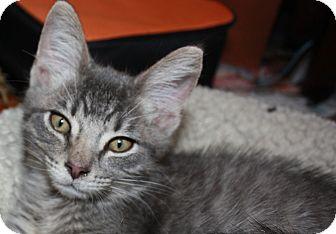 Domestic Shorthair Kitten for adoption in Mt. Prospect, Illinois - Brat