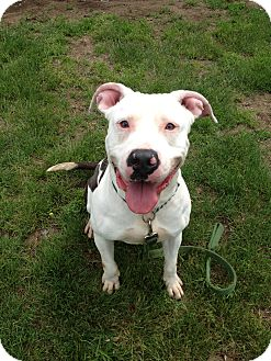 Pit Bull Terrier Mix Dog for adoption in New Haven, Connecticut - GUNNER - URGENT