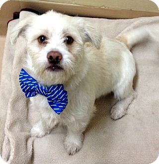 Terrier (Unknown Type, Small)/Lhasa Apso Mix Dog for adoption in Dublin, California - Harvey