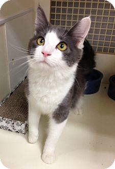 Exotic Cat for adoption in El Dorado Hills, California - ROLLO & LUCA