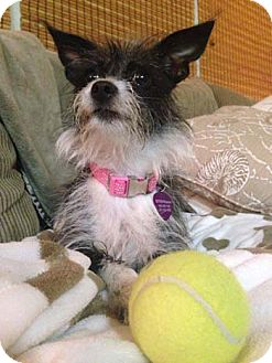 Terrier (Unknown Type, Small) Mix Dog for adoption in Salt Lake City, Utah - SCARLETT