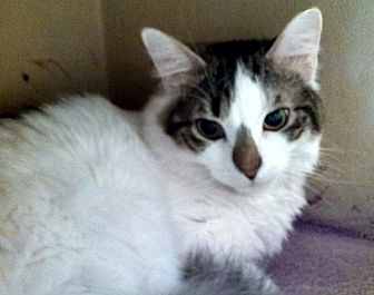 Maine Coon Cat for adoption in Cranford/Rartian, New Jersey - Salt