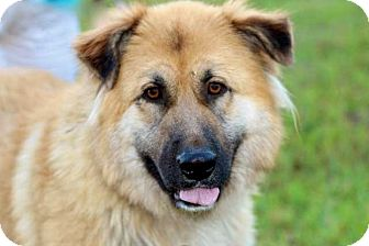 Golden Retriever Mix Dog for adoption in Salem, New Hampshire - FANCY GIRL