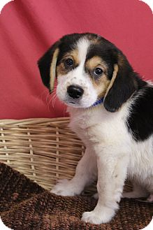 Beagle/Shepherd (Unknown Type) Mix Puppy for adoption in Waldorf, Maryland - Duke