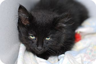 Domestic Shorthair Kitten for adoption in Buffalo, Wyoming - Cole