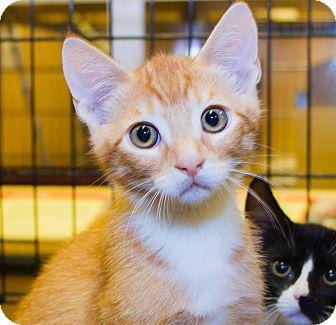 Domestic Shorthair Kitten for adoption in Irvine, California - Harrison