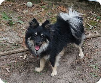 Pomeranian Puppy for adoption in conroe, Texas - Diggle