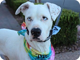 American Bulldog/Bulldog Mix Dog for adoption in Las Vegas, Nevada - TOPAZ