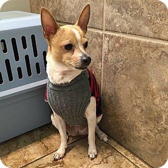 Chihuahua Dog for adoption in Fayetteville, Arkansas - Akasha