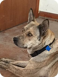 Shepherd (Unknown Type)/Australian Cattle Dog Mix Dog for adoption in Houston, Texas - Leia