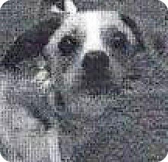 Chihuahua Mix Dog for adoption in Spokane, Washington - Twinkie