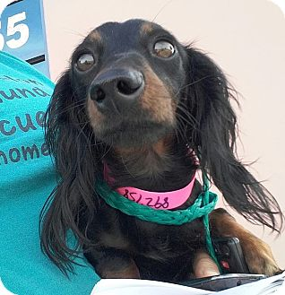 Dachshund Dog for adoption in Henderson, Nevada - Zelda