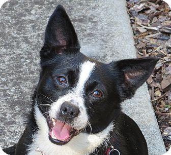 Corgi/Chihuahua Mix Dog for adoption in Monroe, North Carolina - Dallas