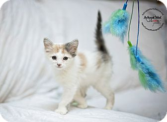 Domestic Mediumhair Kitten for adoption in Seattle, Washington - Prissy